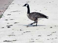 goose-poop3