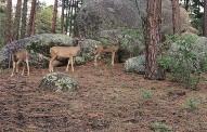 deer_t715.jpg